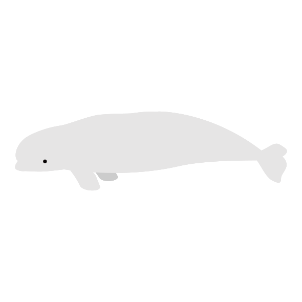 シロイルカのイラスト