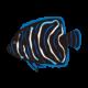 サザナミヤッコ(幼魚)