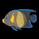 サザナミヤッコ(成魚)