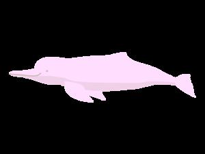 アマゾンカワイルカのイラスト