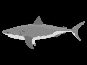 ホホジロザメ(ホオジロザメ)のイラスト