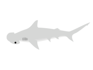 ウチワシュモクザメのイラスト