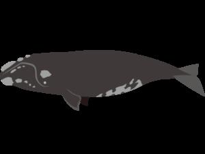 セミクジラ